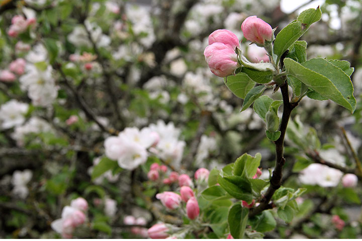 Apple blossom photo by Chandler O'Leary