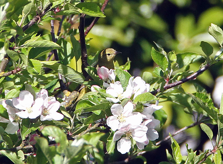 Apple blossom and bird photo by Chandler O'Leary