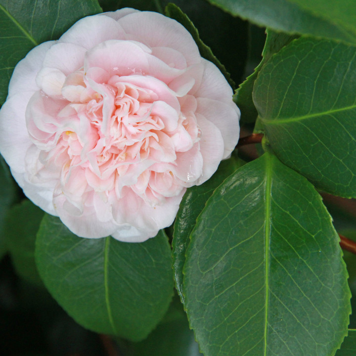 Camellia photo by Chandler O'Leary