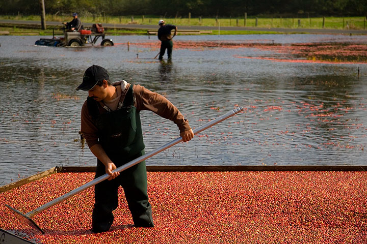 Cranberry harvest photo by Chandler O'Leary