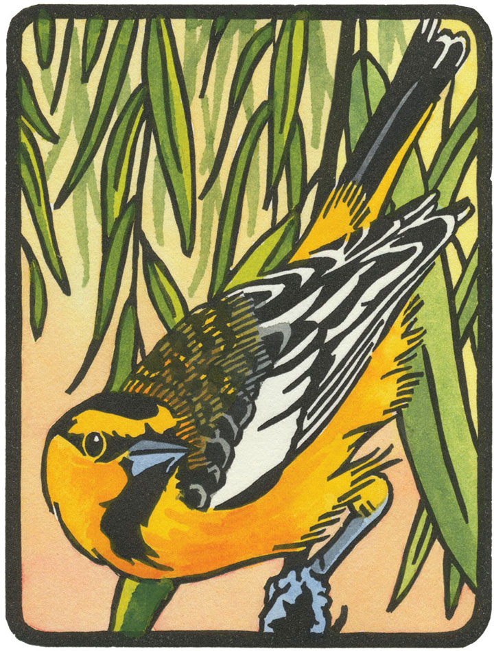 Bullock's Oriole illustration by Chandler O'Leary