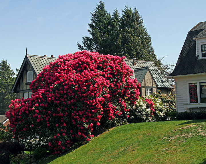 Rhododendron photo by Chandler O'Leary