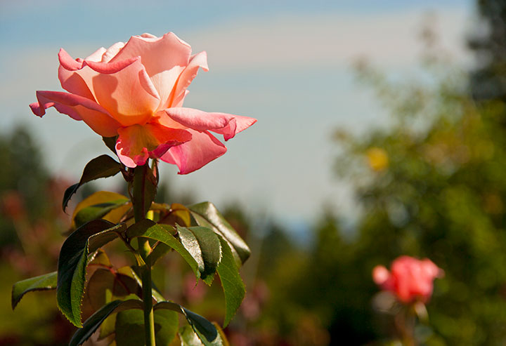 Portland Rose Garden photo by Chandler O'Leary