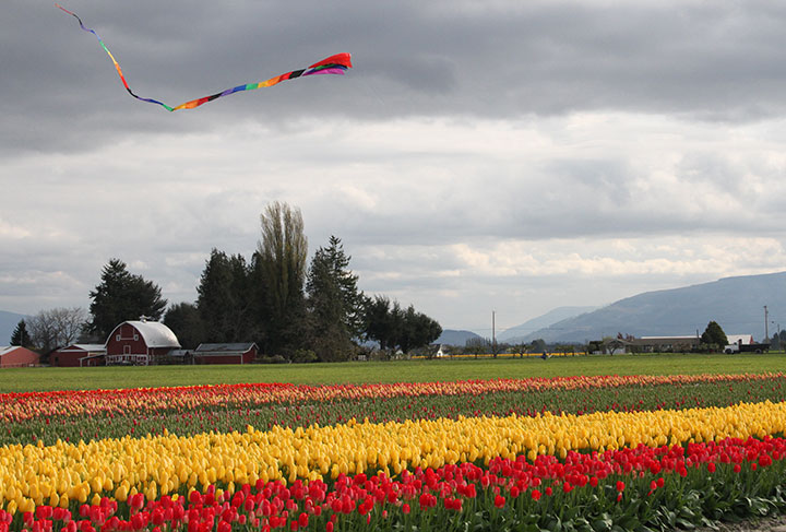 Skagit Valley tulips photo by Chandler O'Leary
